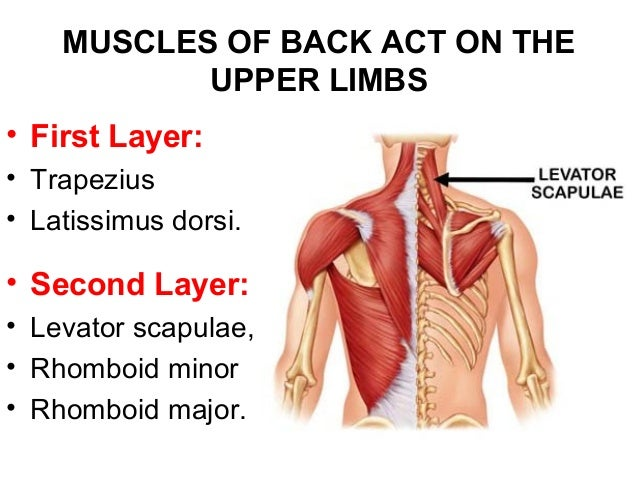 Muscles and nerves of the back
