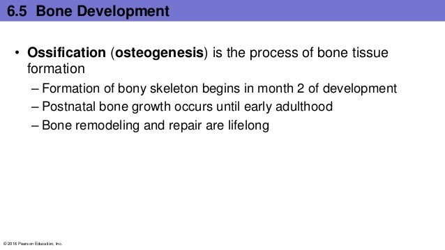6.5 Bone Development • Ossification (osteogenesis) is the process of bone tissue formation – Formation of bony skeleton be...