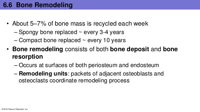 6.6 Bone Remodeling • About 5–7% of bone mass is recycled each week – Spongy bone replaced ~ every 3-4 years – Compact bon...