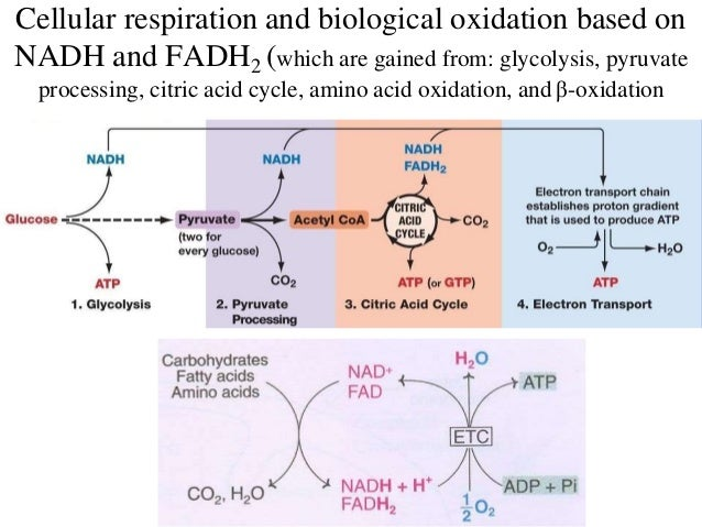 Biological oxidation electron transport chain ccuart Images