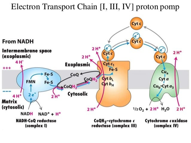 biological oxidation electron transport chain