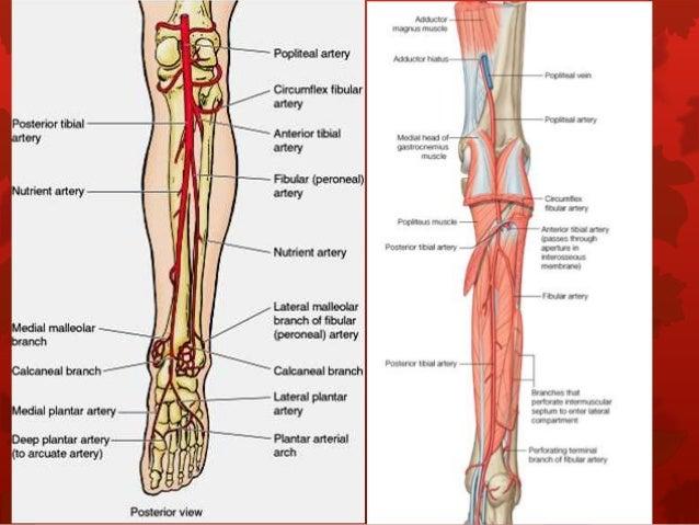 6. anatomy of popliteal fossa