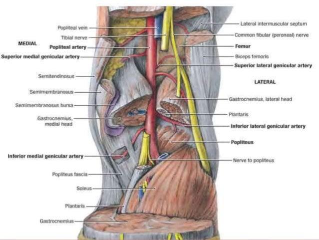 6 Anatomy Of Popliteal Fossa