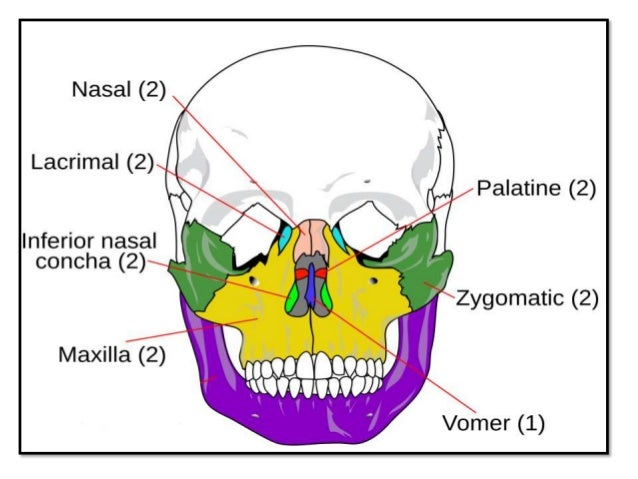 • Nose is a prominent facial structure and nasal bone fractures are the most common facial fractures. • Compared to the an...