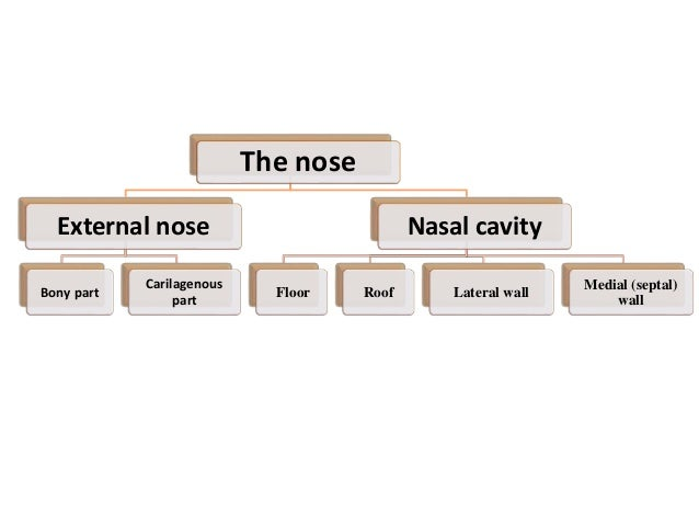 Skeleton of External Nose Bony part : Nasal bone Frontal process of maxilla Nasal part of frontal bone Cartilaginous part ...