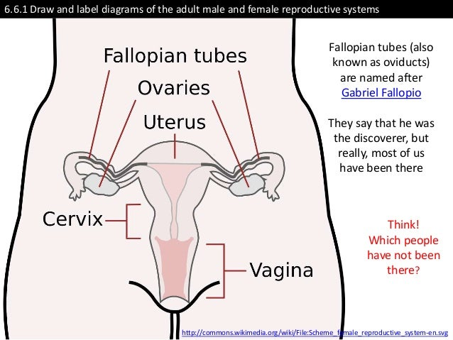 Male Female Reproductive System Diagram Labeled Diy Wiring Diagrams
