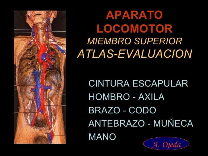 APARATO LOCOMOTOR MIEMBRO SUPERIOR ATLAS-EVALUACION <ul><li>CINTURA ESCAPULAR </li></ul><ul><li>HOMBRO - AXILA </li></ul><...