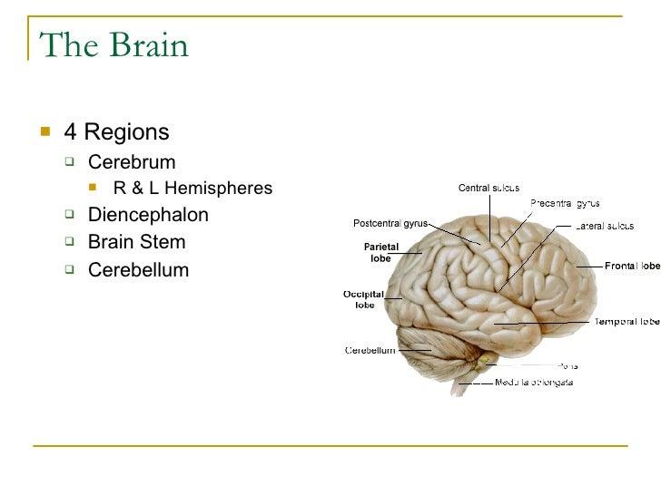 The Brain <ul><li>4 Regions </li></ul><ul><ul><li>Cerebrum </li></ul></ul><ul><ul><ul><li>R & L Hemispheres </li></ul></ul...