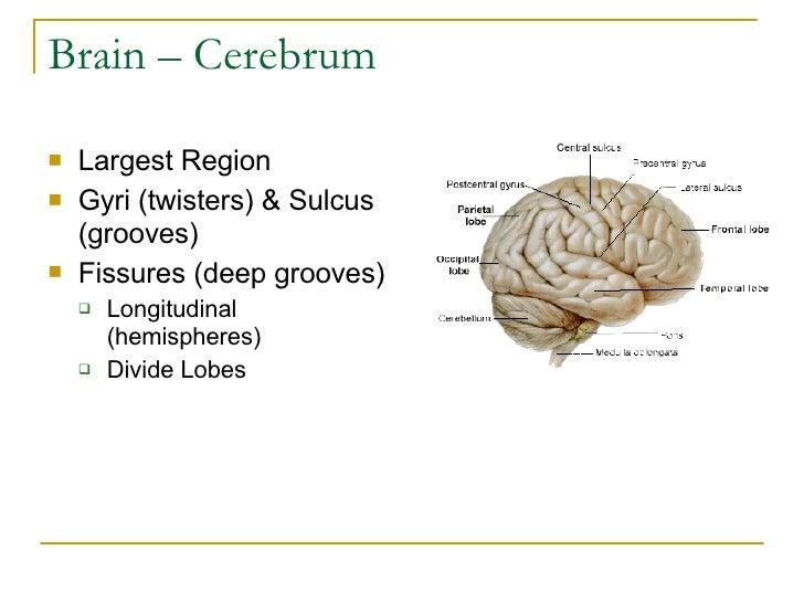 Brain – Cerebrum <ul><li>Largest Region </li></ul><ul><li>Gyri (twisters) & Sulcus (grooves) </li></ul><ul><li>Fissures (d...