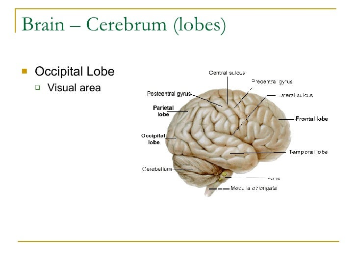 Brain – Cerebrum (lobes) <ul><li>Occipital Lobe </li></ul><ul><ul><li>Visual area </li></ul></ul>