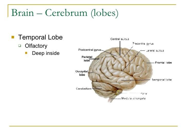Brain – Cerebrum (lobes) <ul><li>Temporal Lobe </li></ul><ul><ul><li>Olfactory </li></ul></ul><ul><ul><ul><li>Deep inside ...