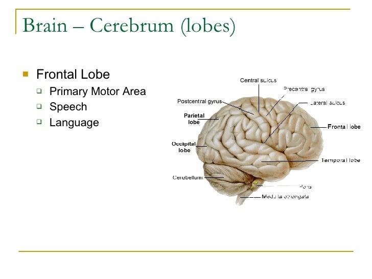 Brain – Cerebrum (lobes) <ul><li>Frontal Lobe </li></ul><ul><ul><li>Primary Motor Area </li></ul></ul><ul><ul><li>Speech  ...