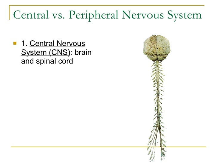 Central vs. Peripheral Nervous System <ul><li>1.  Central Nervous System (CNS) : brain and spinal cord    </li></ul>