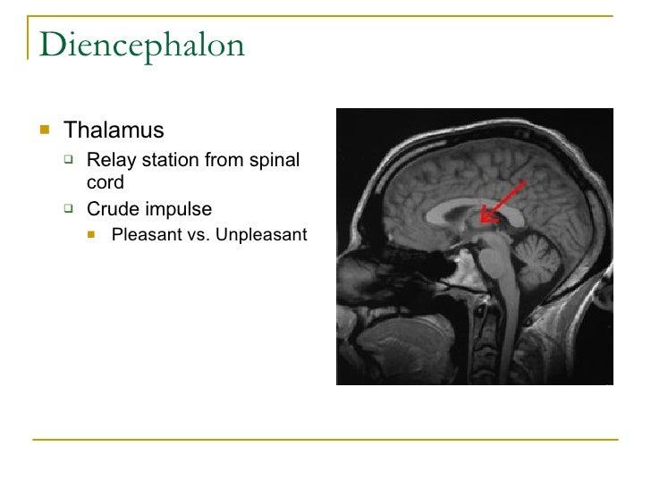Diencephalon <ul><li>Thalamus </li></ul><ul><ul><li>Relay station from spinal cord </li></ul></ul><ul><ul><li>Crude impuls...