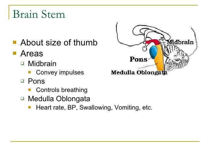 Brain Stem <ul><li>About size of thumb </li></ul><ul><li>Areas </li></ul><ul><ul><li>Midbrain </li></ul></ul><ul><ul><ul><...