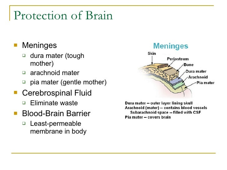 Protection of Brain <ul><li>Meninges </li></ul><ul><ul><li>dura mater (tough mother) </li></ul></ul><ul><ul><li>arachnoid ...