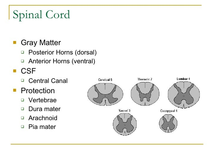 Spinal Cord <ul><li>Gray Matter </li></ul><ul><ul><li>Posterior Horns (dorsal) </li></ul></ul><ul><ul><li>Anterior Horns (...