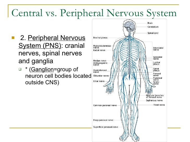 Central vs. Peripheral Nervous System <ul><li> 2.  Peripheral Nervous System (PNS) : cranial nerves, spinal nerves and ga...