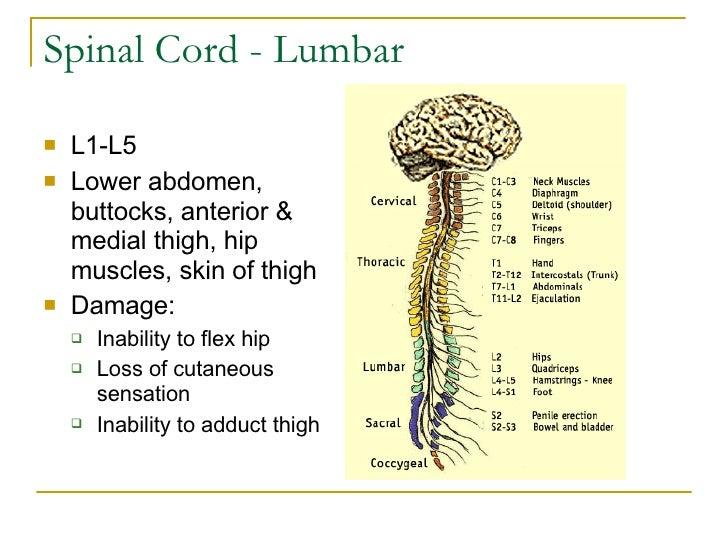 Spinal Cord - Lumbar <ul><li>L1-L5 </li></ul><ul><li>Lower abdomen, buttocks, anterior & medial thigh, hip muscles, skin o...