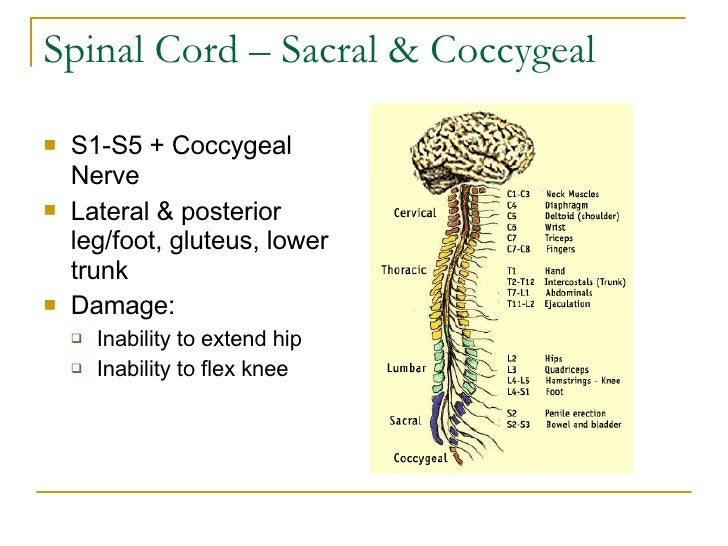 Spinal Cord – Sacral & Coccygeal <ul><li>S1-S5 + Coccygeal Nerve </li></ul><ul><li>Lateral & posterior leg/foot, gluteus, ...
