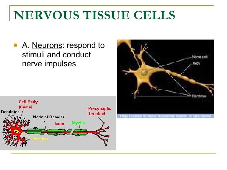 NERVOUS TISSUE CELLS <ul><li>A.  Neurons : respond to stimuli and conduct nerve impulses </li></ul>