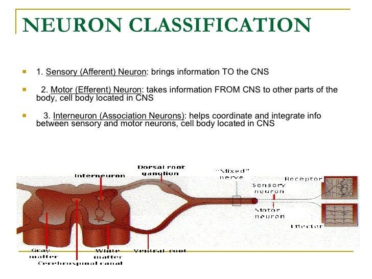 NEURON CLASSIFICATION   <ul><li>1.  Sensory (Afferent) Neuron : brings information TO the CNS    </li></ul><ul><li> 2. ...