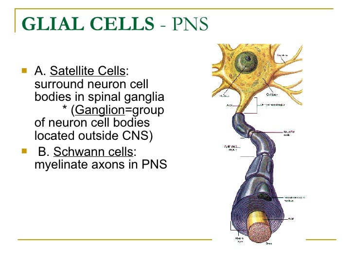 GLIAL CELLS  - PNS <ul><li>A.  Satellite Cells : surround neuron cell bodies in spinal ganglia   * ( Ganglion =grou...