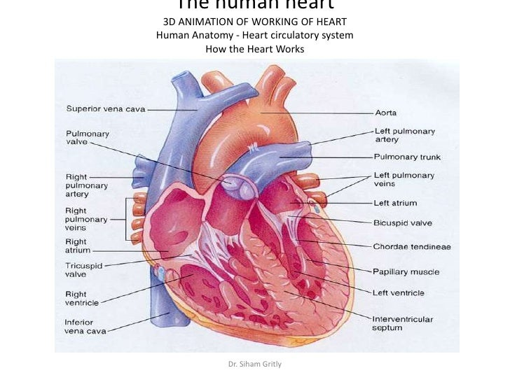 Diagram Of Lungs During Cardiovascular Fitness Enthusiast Wiring