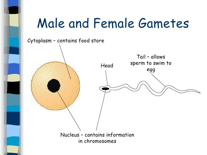 Sperm sex cells