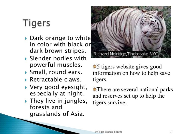 """save the tigers essay Tigers are thriving in and around india's nagarhole national park, with a regional population of 250 """"if we do everything right, we can have 500,"""" says big-cat biologist ullas karanth."""