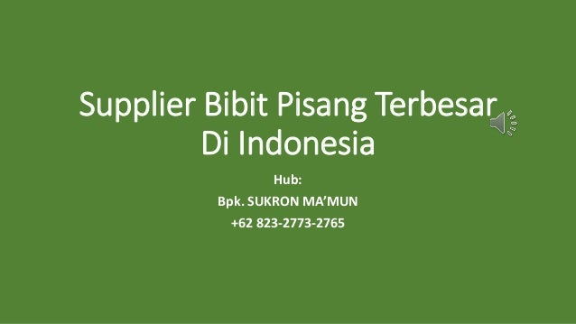 Supplier Bibit Pisang Terbesar Di Indonesia Hub: Bpk. SUKRON MA'MUN +62 823-2773-2765