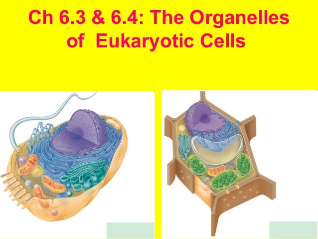Ch 6.3 & 6.4: The Organelles of Eukaryotic Cells