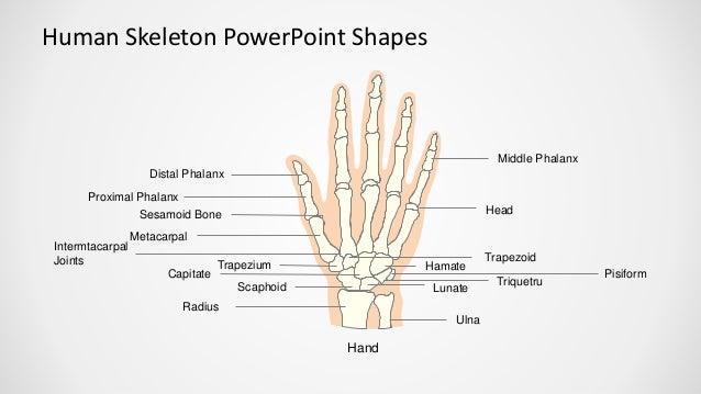 human skeleton powerpoint shapes - slidemodel, Skeleton