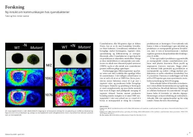 Nyheter fra AMB – april 2015 2 Forskning Ny innsikt om kommunikasjon hos cyanobakterier Tekst og foto: Anton Liaimer Cyano...