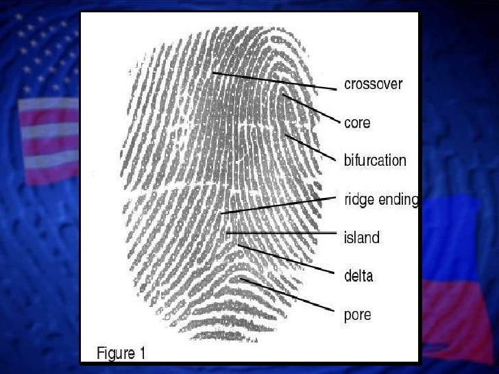 importance of finger printing ¥the process of dna fingerprinting begins by isolating dna from Ðblood, semen, vaginal fluids, hair roots, skin, skeletal remains, or elsewhere 2.