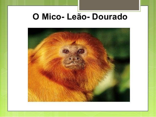 O Mico- Leão- Dourado
