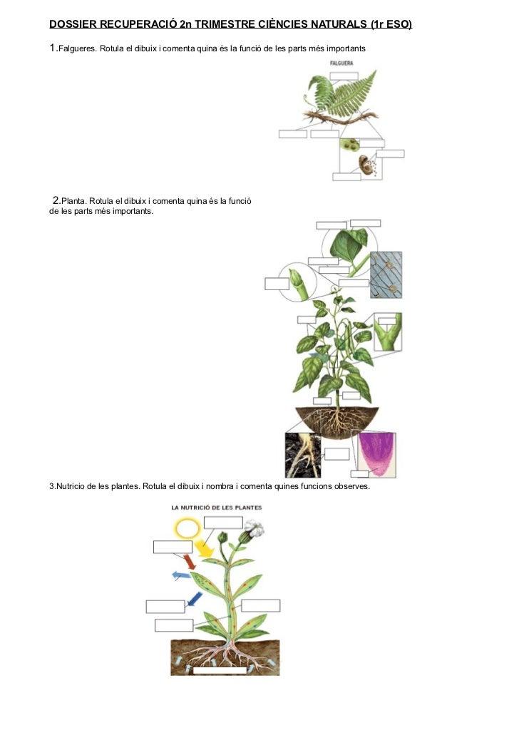 DOSSIER RECUPERACIÓ 2n TRIMESTRE CIÈNCIES NATURALS (1r ESO)  1.Falgueres. Rotula el dibuix i comenta quina és la funció de...