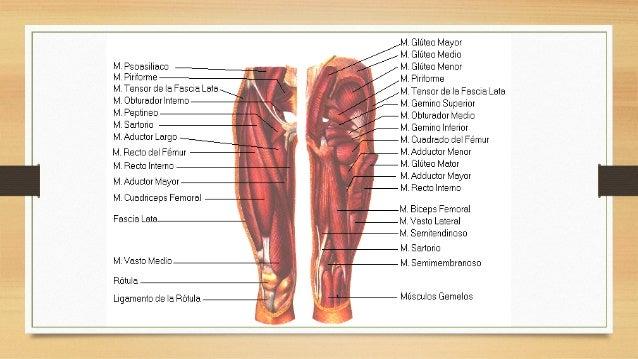 Musculos de la región glútea