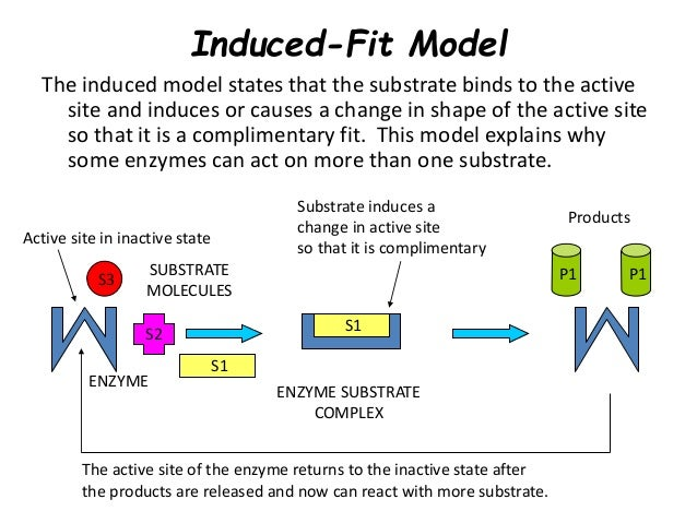 Diagram of induced fit model diy enthusiasts wiring diagrams enzymes rh slideshare net lock key model or induced fit model of enzymatic activity the basics ccuart Image collections