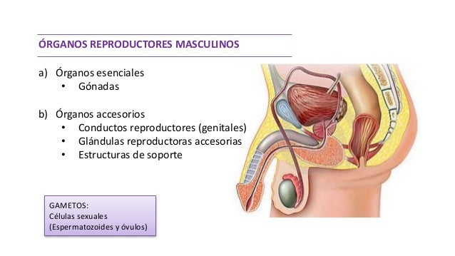 Organos sexuales masculinos anatomia