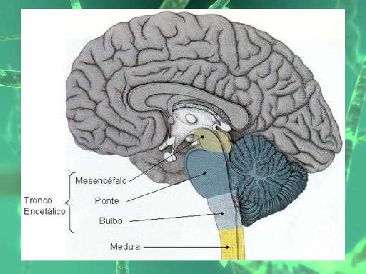 6 tronco encefalico