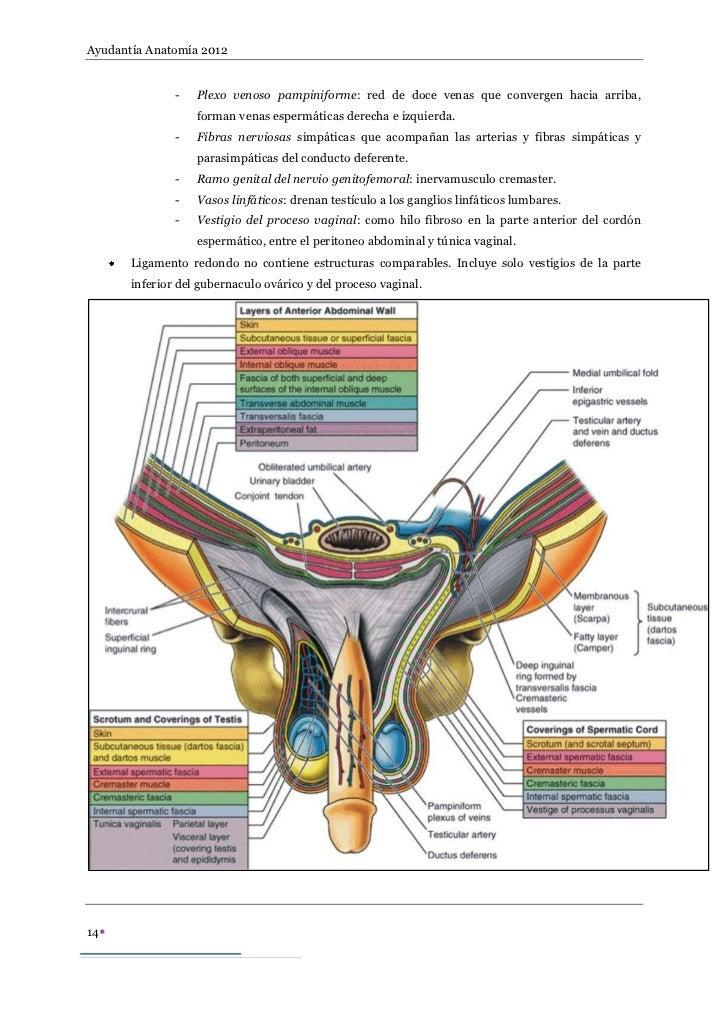 Pared anterolateral del abdomen, conducto inguinal, topografía superf…