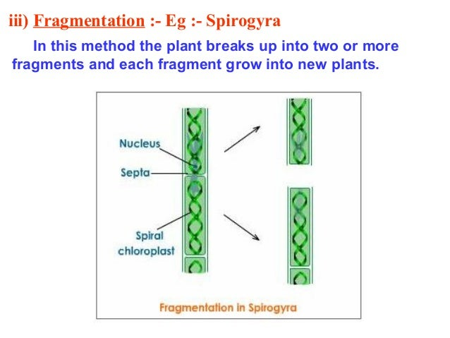 [ Fragmentation In Spirogyra Diagram Www ] - Best Free ...
