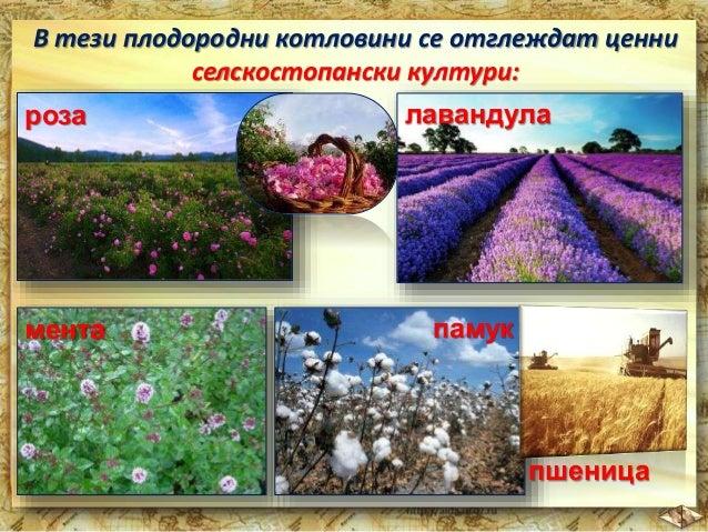 От ментата и лавандулата се добиват ценни  растителни масла.  В Сливенското поле  богата реколта  дават прасковите.