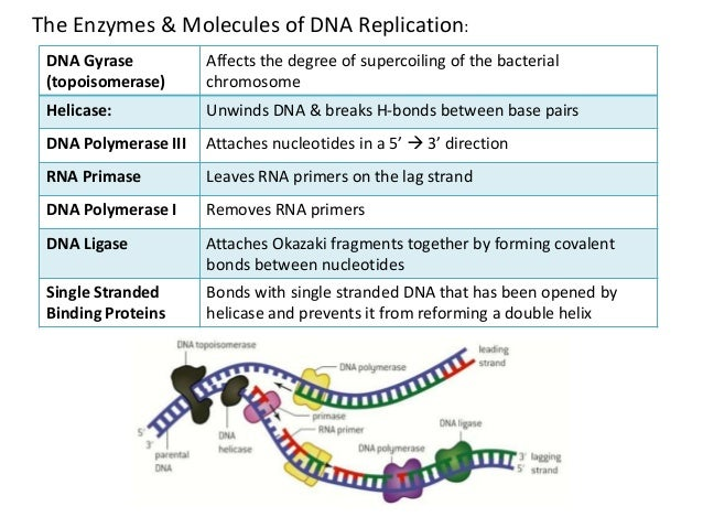 7.1 dna structure & replication