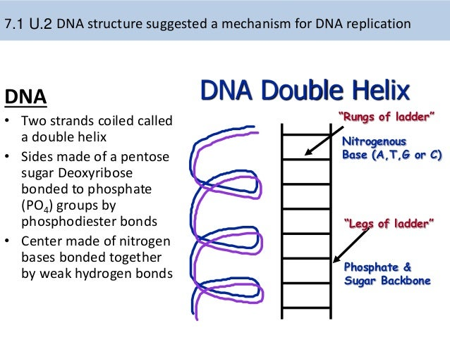 Double helix dna replication diagram labeled diy wiring diagrams 7 1 dna replication rh slideshare net dna molecule labeled labeled dna molecule structure ccuart Image collections