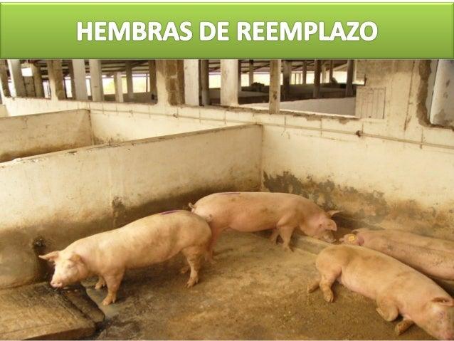 HEMBRAS DE REEMPLAZO (La Nulípara de hoy es la multípara de mañana) Las empresas porcinas requieren una renovación continu...