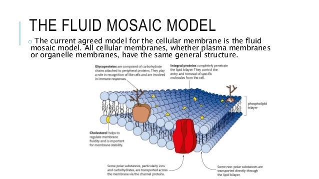 Describe current model membrane structure and explain acco