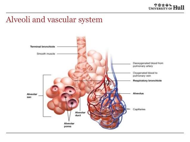 Dolphin diagram with alveoli respiratory system introduction to alveoli respiratory system diagram wiring source u2022 rh hot co co anatomy respiratory system diagram anatomy ccuart Choice Image