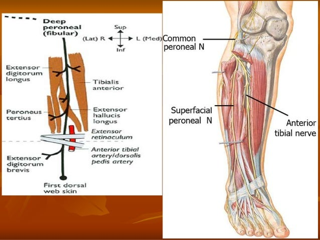 7. anatomy of the leg and dorsum of the foot.